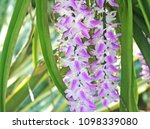 purple orchid blooming...   Shutterstock . vector #1098339080