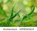 green chilli with water drop on ... | Shutterstock . vector #1098363614