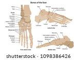 bones of the foot with main... | Shutterstock .eps vector #1098386426
