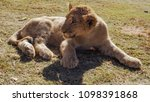 lion cub sitting outdoor in the ...   Shutterstock . vector #1098391868