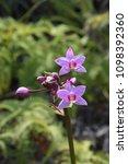 philippine ground orchid...   Shutterstock . vector #1098392360