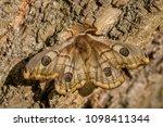 emperor moth   saturnia pavonia ... | Shutterstock . vector #1098411344
