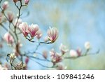 flowering magnolia tree densely ... | Shutterstock . vector #109841246