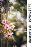 the bloom orchids in the garden ...   Shutterstock . vector #1098419774
