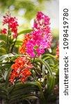 the bloom orchids in the garden ...   Shutterstock . vector #1098419780