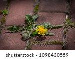 dandelion bunch grow in cracked ... | Shutterstock . vector #1098430559
