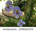 beautiful orchids in the garden    Shutterstock . vector #1098462374