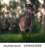 solitary red deer stag with... | Shutterstock . vector #1098463088