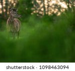 solitary red deer stag with... | Shutterstock . vector #1098463094