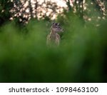 solitary red deer stag with... | Shutterstock . vector #1098463100