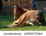 brown baby horse sleeping in a... | Shutterstock . vector #1098472964