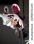 white and purple or red orchid   Shutterstock . vector #1098476144