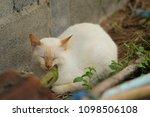 cute white cat  outdoors   Shutterstock . vector #1098506108