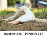 cute white cat  outdoors   Shutterstock . vector #1098506114