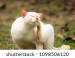 cute white cat  outdoors   Shutterstock . vector #1098506120