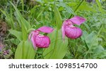 flowers of northern orchids...   Shutterstock . vector #1098514700
