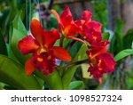cattleya hybrid orchid flower...   Shutterstock . vector #1098527324