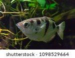 saltwater fish aquarium closeup | Shutterstock . vector #1098529664