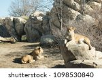 Lion And Lioness Lounging In...