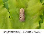 Small photo of The heart and dart Agrotis exclamationis