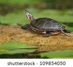 Midland Painted Turtle ...