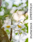 white blossom orchid on the tree   Shutterstock . vector #1098555614