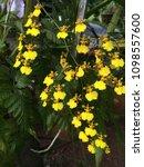 oncidium orchid sprays or sabah ...   Shutterstock . vector #1098557600