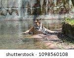 siberian amur tiger in the zoo  ... | Shutterstock . vector #1098560108