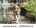 siberian amur tiger in the zoo  ... | Shutterstock . vector #1098560114