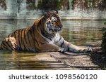 siberian amur tiger in the zoo  ... | Shutterstock . vector #1098560120