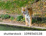siberian amur tiger in the zoo  ... | Shutterstock . vector #1098560138