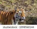 siberian amur tiger in the zoo  ... | Shutterstock . vector #1098560144