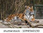 siberian amur tiger in the zoo  ... | Shutterstock . vector #1098560150