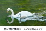 a swan and cygnet feed from... | Shutterstock . vector #1098561179