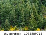 firs tall trees forests in... | Shutterstock . vector #1098589718