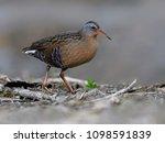 virginia rail in spring | Shutterstock . vector #1098591839