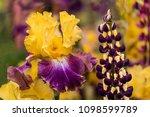 Yellow And Purple Bearded Iris...