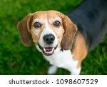 a happy tricolor beagle dog...   Shutterstock . vector #1098607529