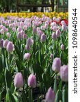 beautiful tulips in a flowerbed ... | Shutterstock . vector #1098640544