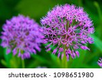 decorative onion flowers.