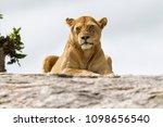 Lioness On A Granite Kopje In...