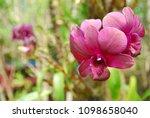 purple orchid in burr background   Shutterstock . vector #1098658040