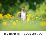 an american red squirrel pauses ... | Shutterstock . vector #1098658790