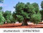 olive  lat. olea europaea ...   Shutterstock . vector #1098678563