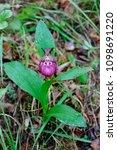 orchid venus shoe large...   Shutterstock . vector #1098691220