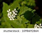 small white garlic mustard... | Shutterstock . vector #1098692864
