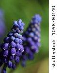 purple grape hyacinths | Shutterstock . vector #1098780140