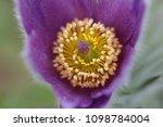 flowering pasque pulsatilla... | Shutterstock . vector #1098784004