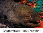 eel at the maldives | Shutterstock . vector #1098785984