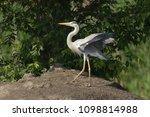 grey heron  ardea cinerea       ... | Shutterstock . vector #1098814988